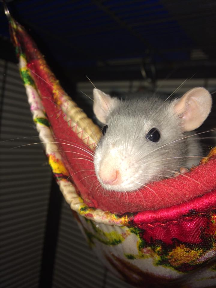 Cute Pet Rat Hammocks: Why You Need Them & Where to Get ... | 720 x 960 jpeg 64kB