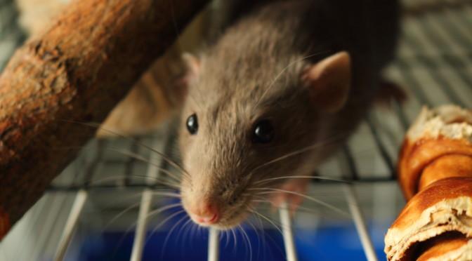 Rat Supplies Archives - Understanding Pet Fancy Rats