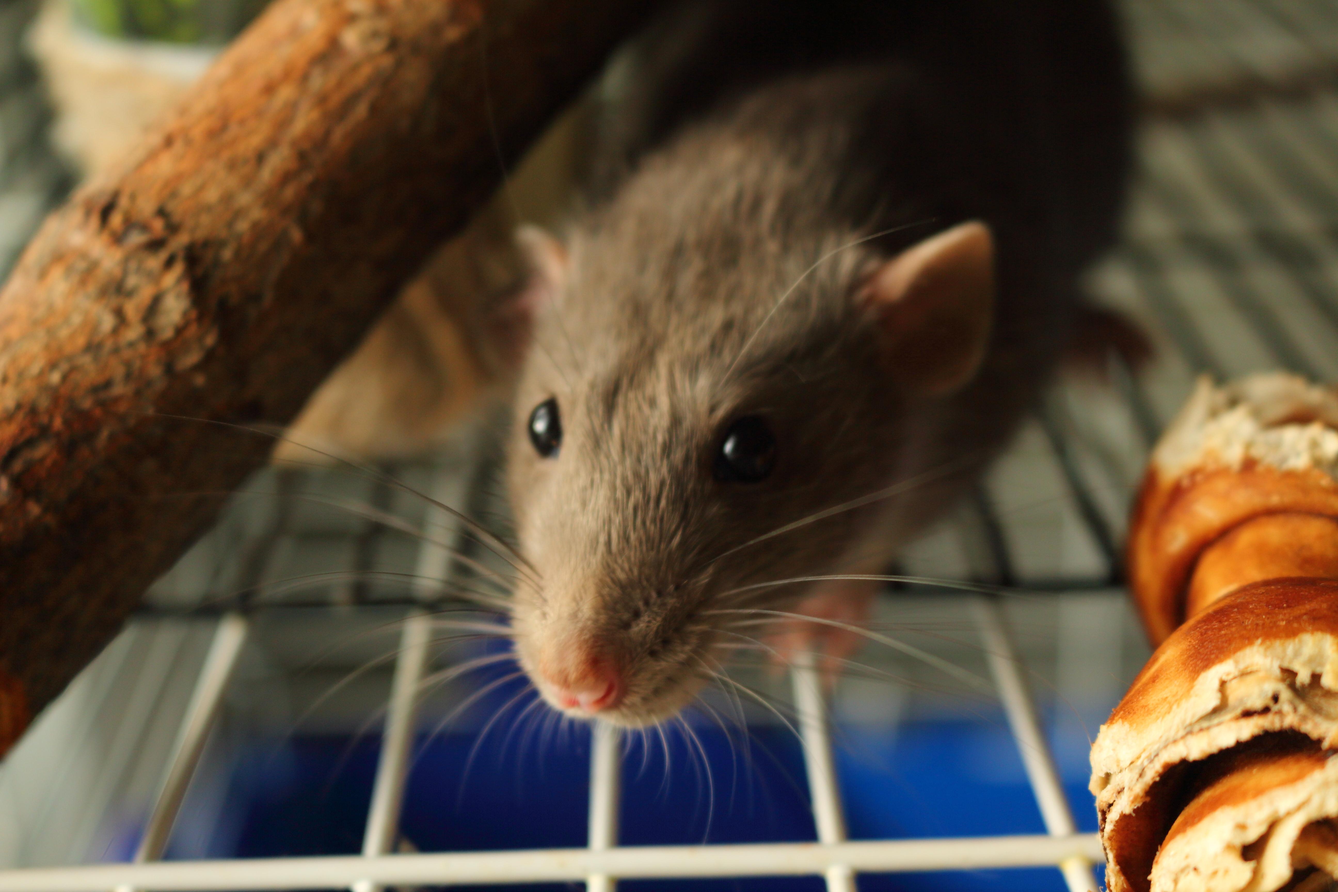 Pet Rat Eye Infection – Understanding Pet Fancy Rats