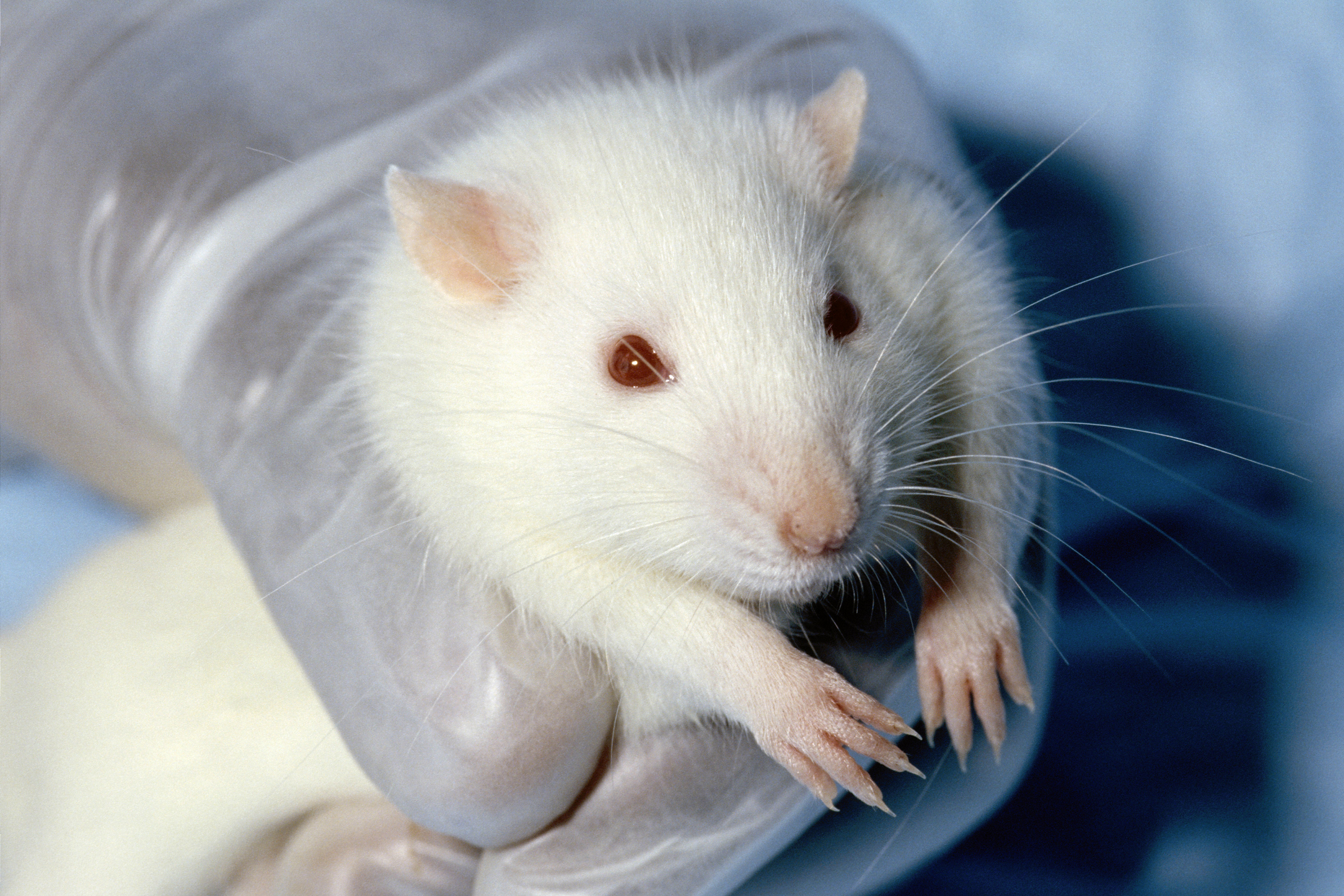 White Rat About Pink And Black Eyed Whites Pew Bew Understanding Pet Fancy Rats,Chameleon Petco