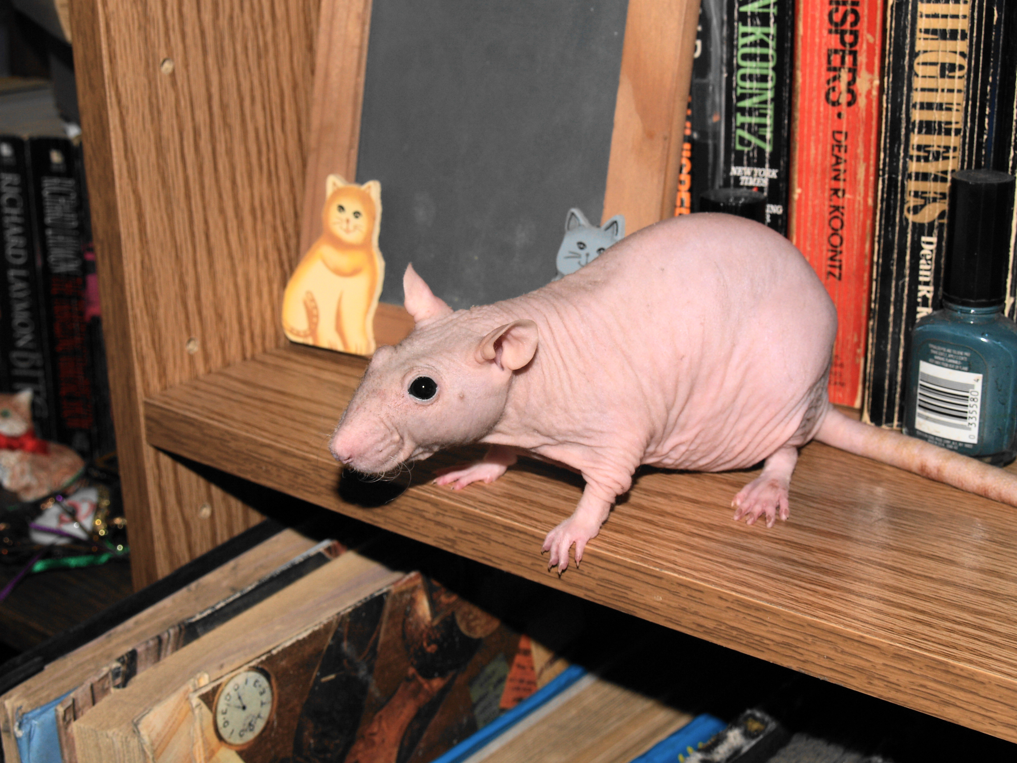 How To: Fighting Bacterial Infections In Sick Rats with the