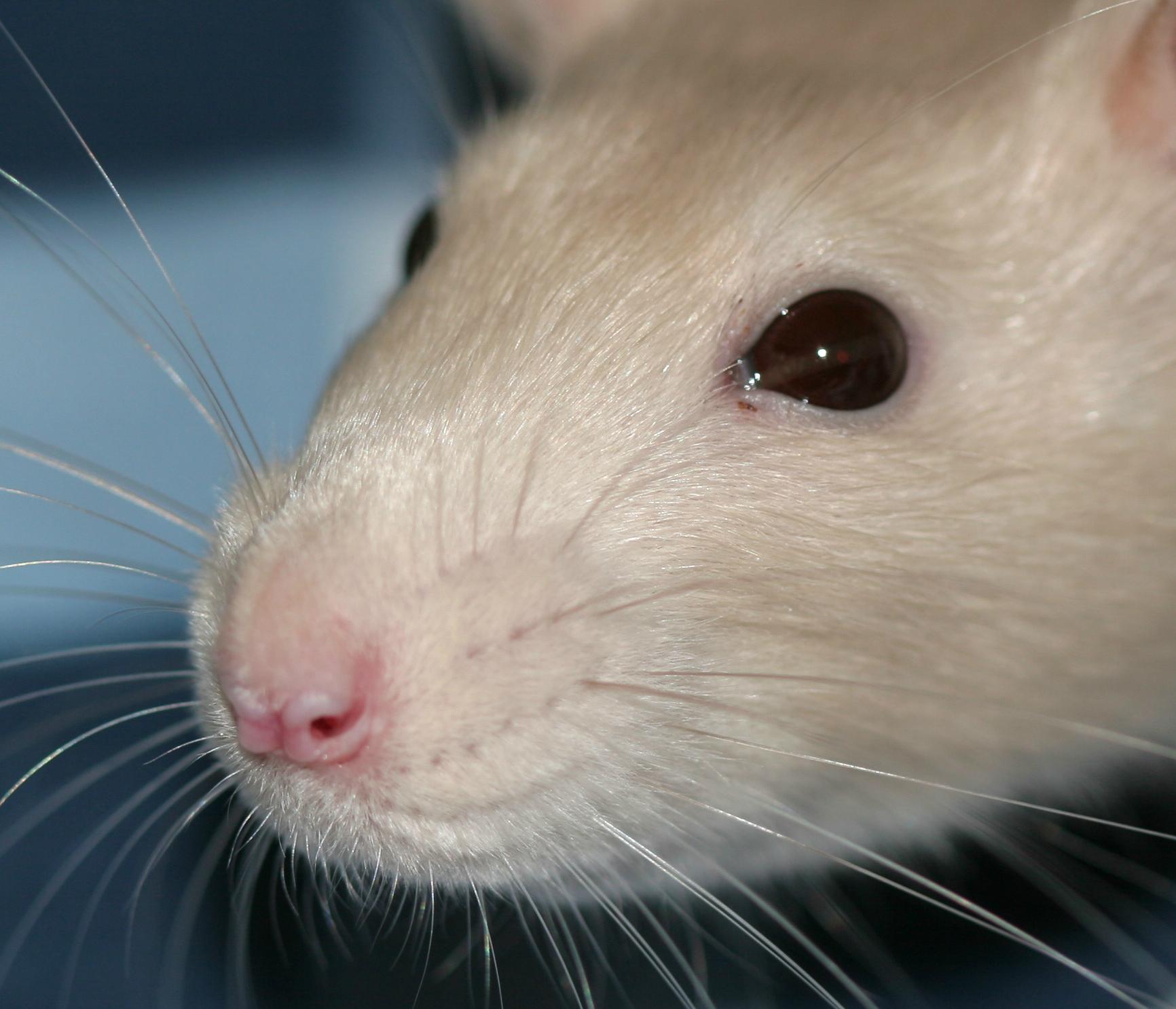 Fancy rats as pets - photo#28