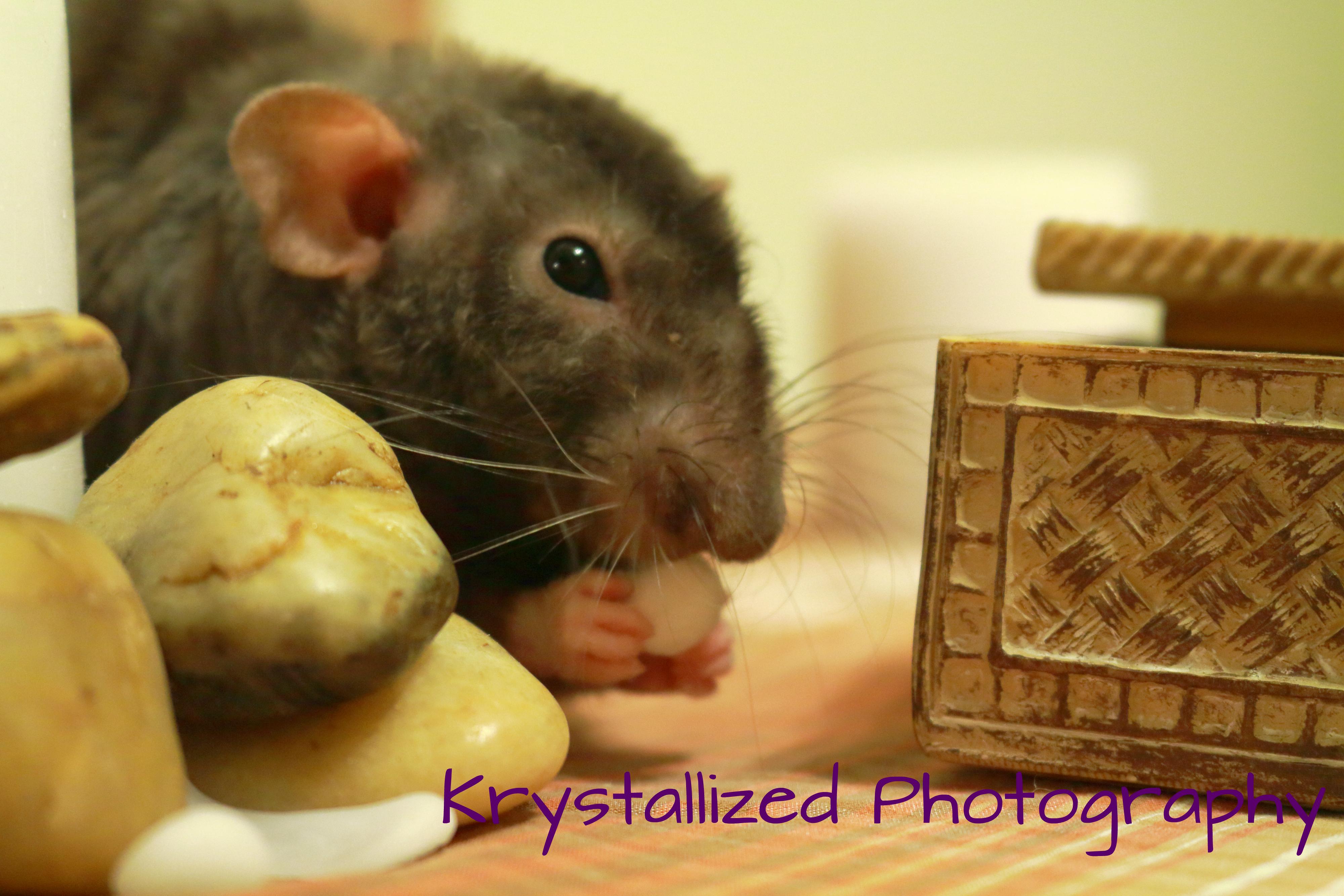 Rat Pee: How Often Do Rats Urinate & What Is Normal