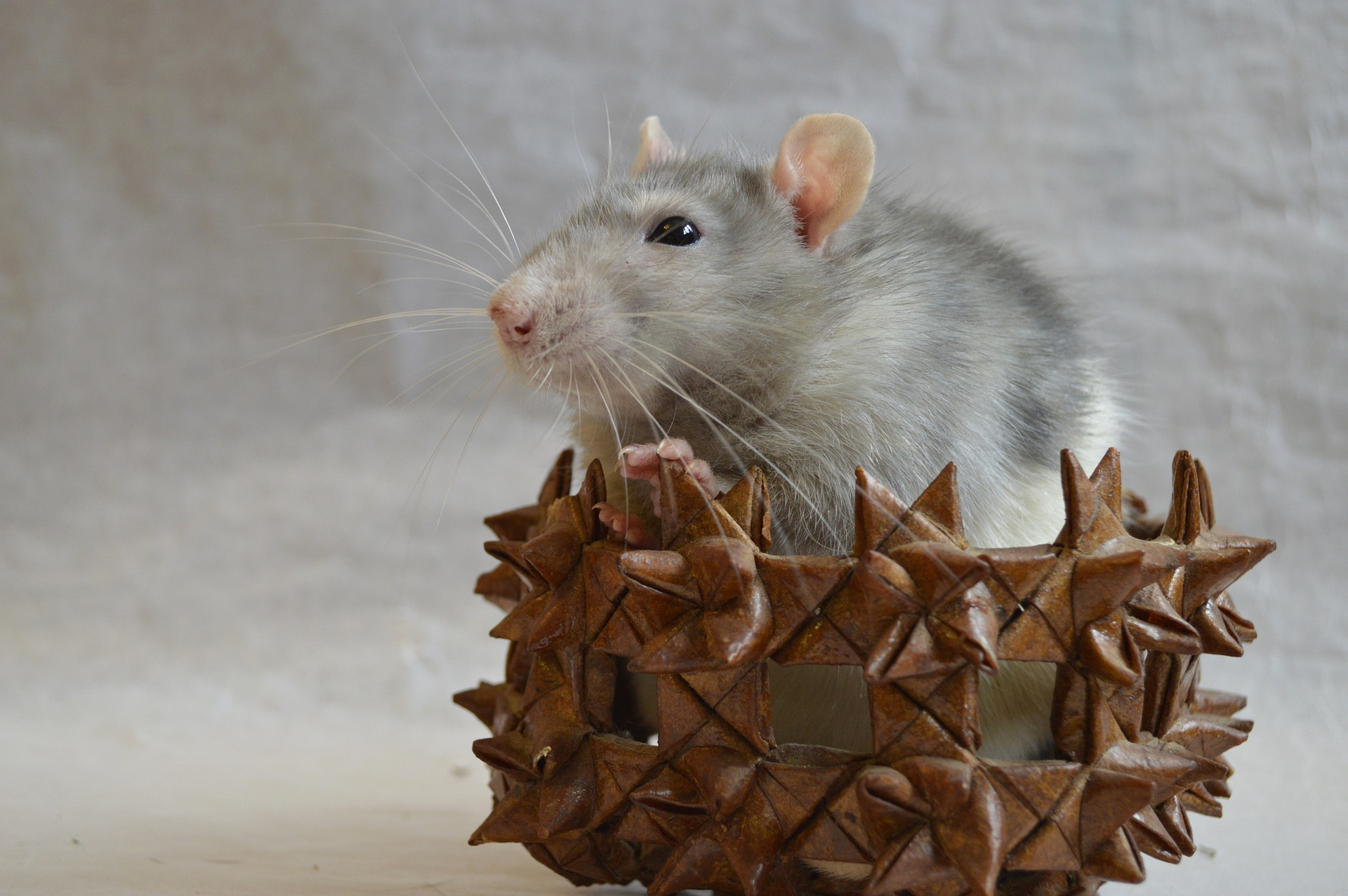 My Rat Has Lice or Mites: How Do I Get Rid of Them? (Mites